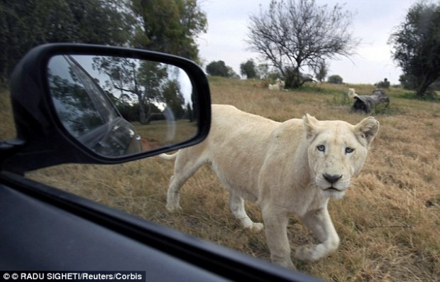 A rare white lion peers at a vehicle at the Lions Park near Johannesburg. The American woman's death was the third big cat attack in four months