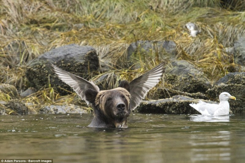 Adam Parsons was awarded one of the Highly Commended certificates with his image of a bear appearing to have wings growing from its head in a photo taken in September, 2015