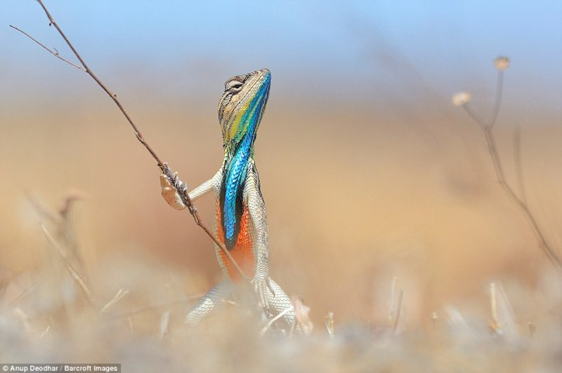 The colourful reptile looks like a warrior in this image by Anup Deodhar. This image, captued in May, 2013, recieved one of the Highly Commended certificates