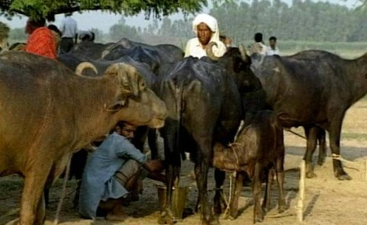 3 Booked on Charges of Cow Slaughter in Mumbai's Madanpura