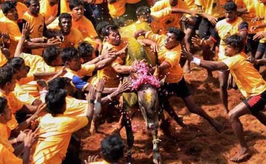 Jallikattu, Bull-Fighting Sport Of Tamil Nadu, Put On Hold By Supreme Court