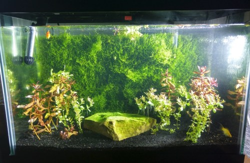 Medium Of Java Moss For Sale