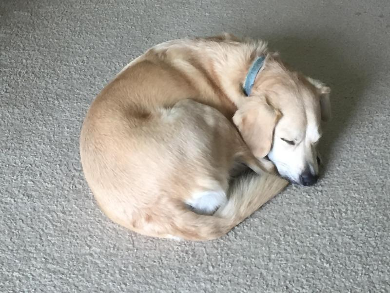 Large Of Jack Russell Lab Mix
