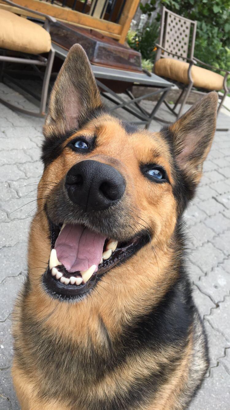 Fullsize Of Cute German Shepherd