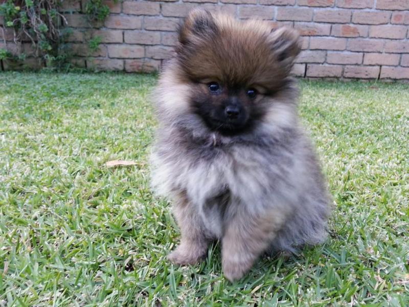 Large Of Teddy Bear Dog