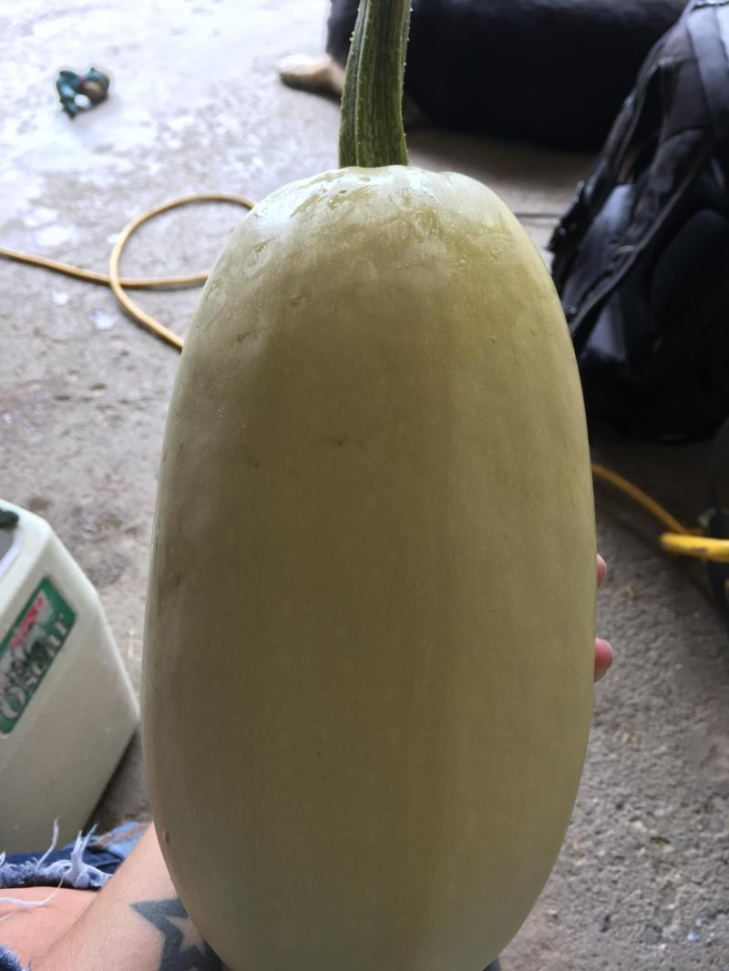 Large Of When To Pick Spaghetti Squash