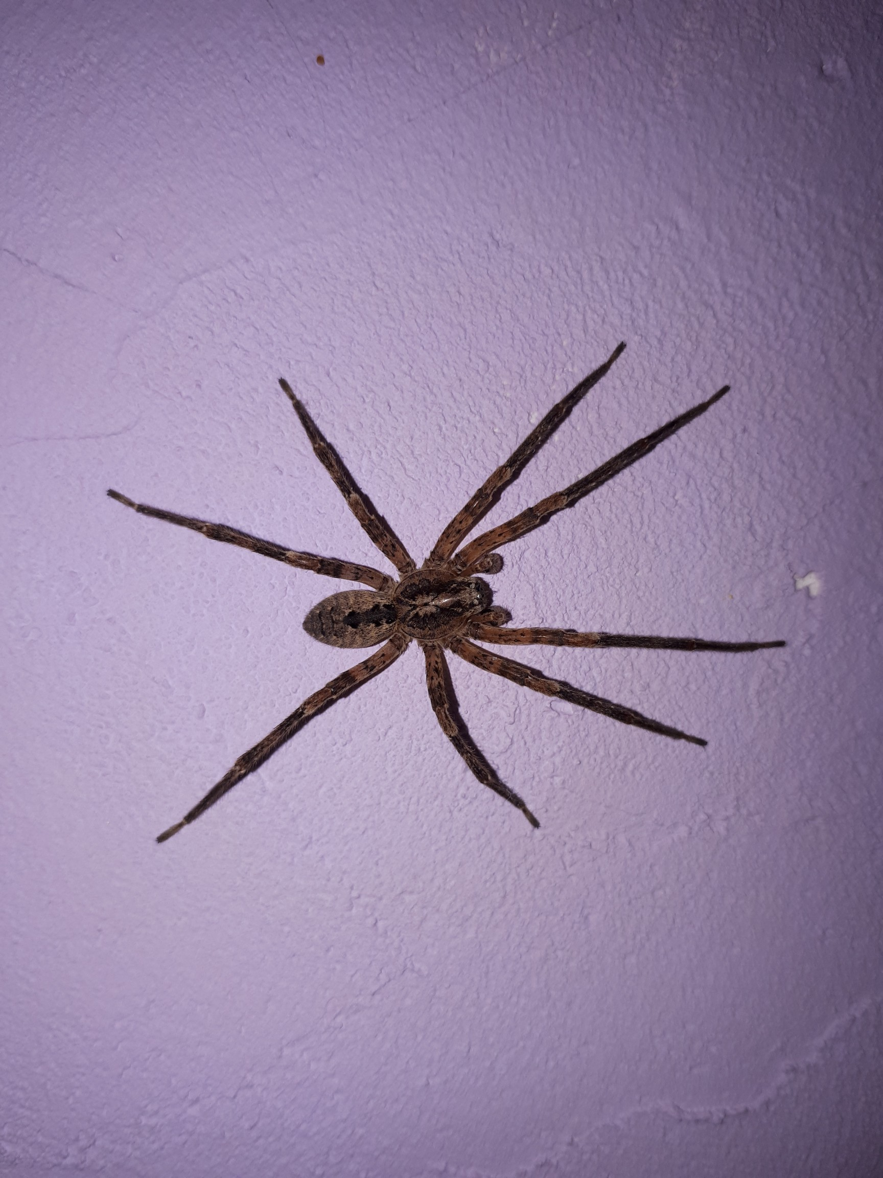 Wonderful This Markings Seem To Match A Giant House What Isit This Markings Seem To Match A Giant House Giant House Spider Spiders Portland Oregon Giant House Spider Wisconsin curbed Giant House Spider