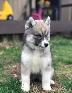 Small Of Dog That Looks Like A Wolf