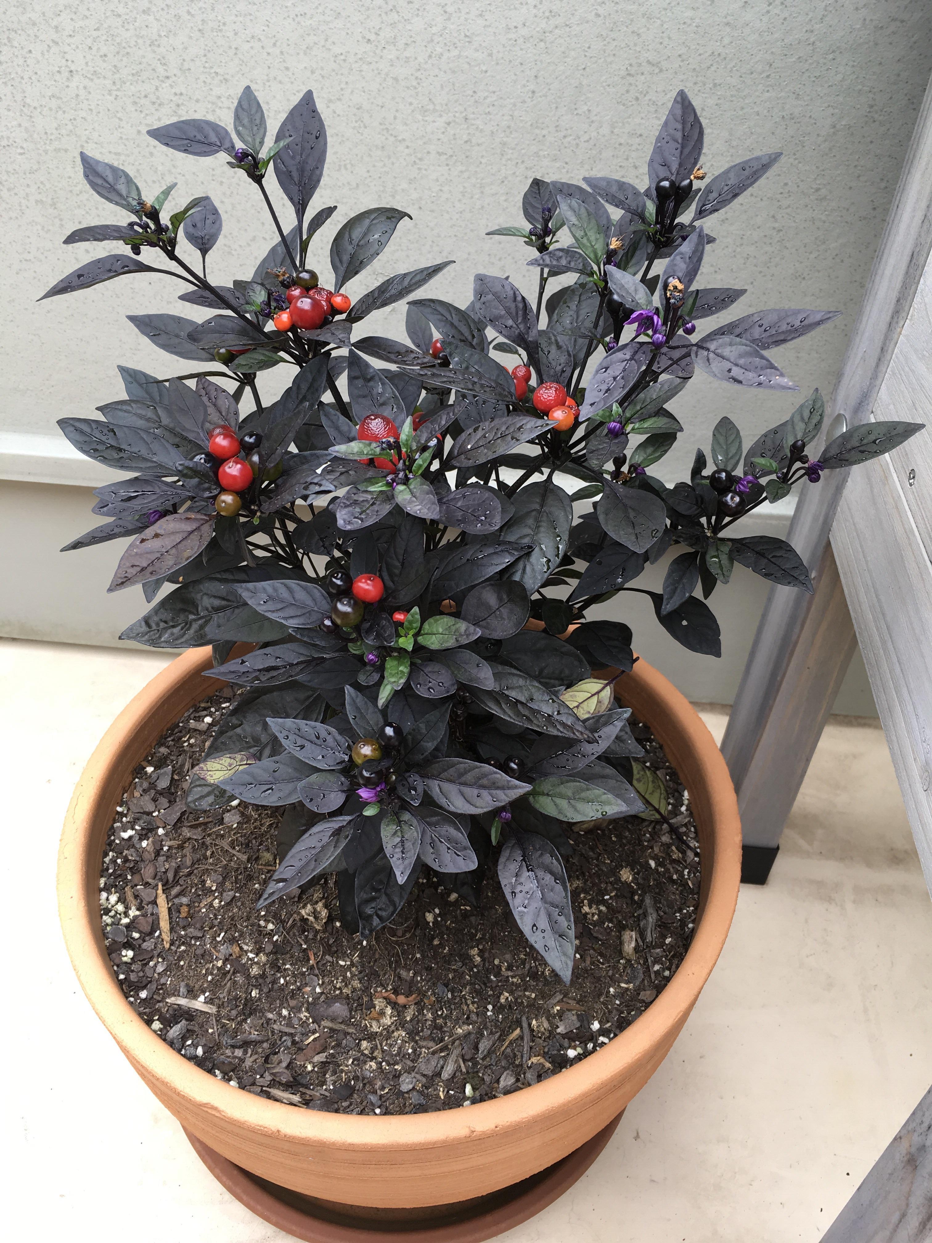 Fullsize Of Black Pearl Pepper