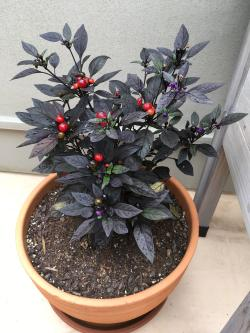 Small Of Black Pearl Pepper