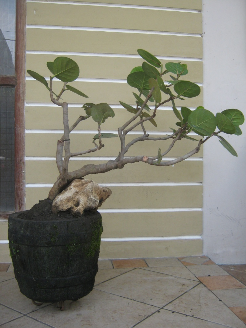 Corner Styling Sea Grapes Need Suggestions Sea Grape Tree Edible Sea Grape Tree Wikipedia Already Years Two Days Ago Itry To Give Me Advice Suggestions I Have Sea Grapes Tree From Seed houzz 01 Sea Grape Tree