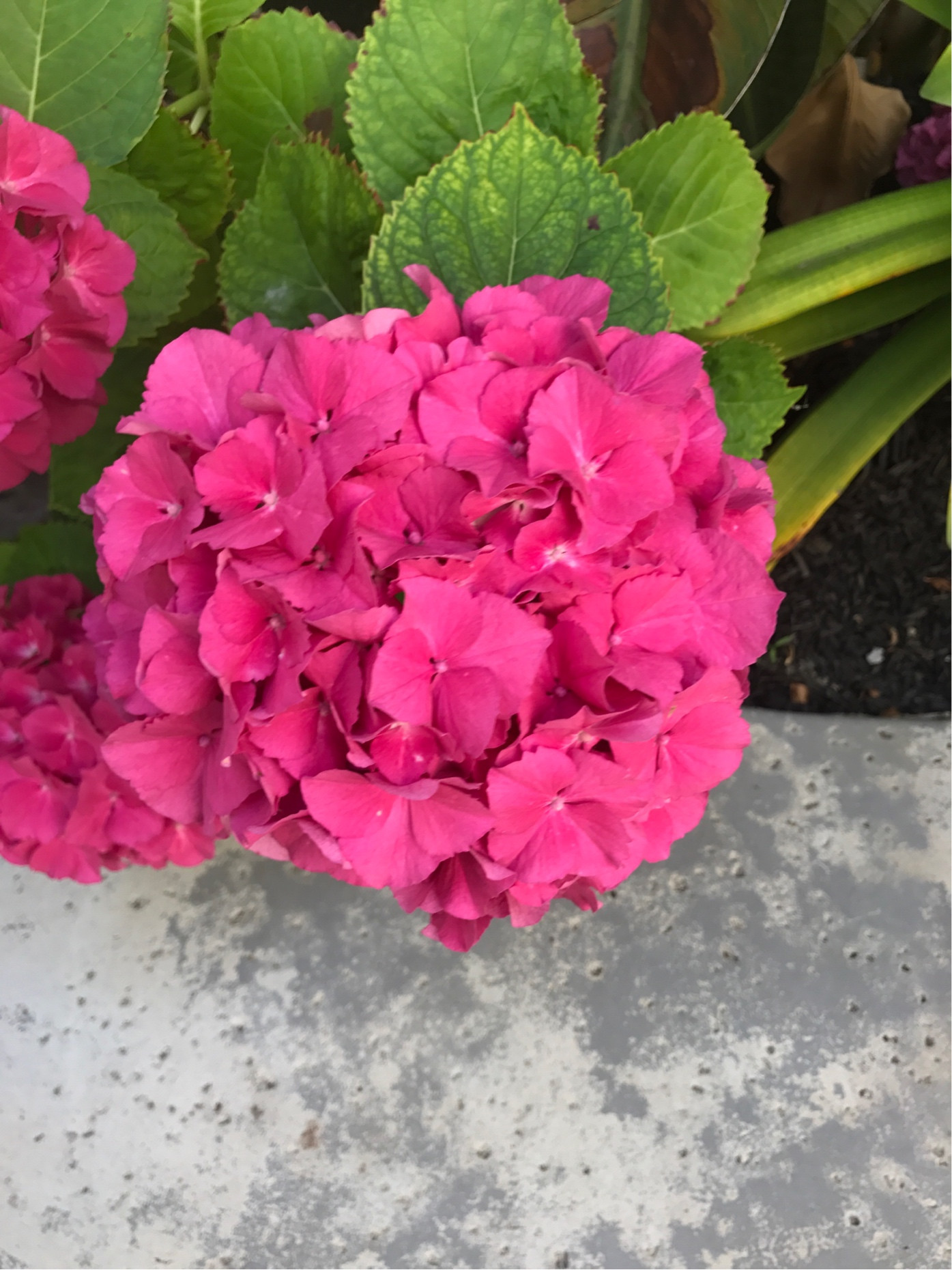 Fullsize Of Hydrangea Not Blooming