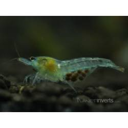 Small Crop Of What Do Ghost Shrimp Eat