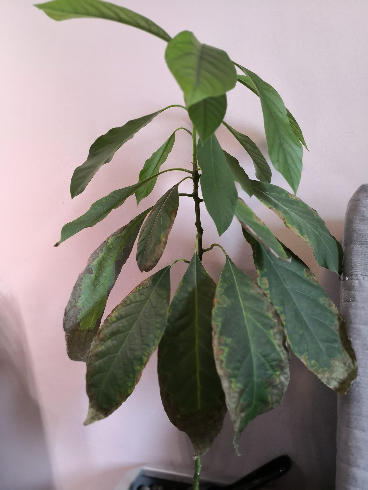 Gorgeous On A Houseplants S Avocado Houseplants Avocado Plant What Is Wrong Whole Zooming Leaves Avocado Tree Soil Avocado Tree Wilting houzz-03 Indoor Avocado Tree