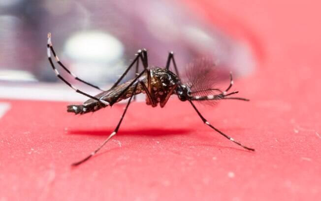 O perigoso Aedes aegypti é transmissor das doenças zika vírus, febre chikungunya e dengue