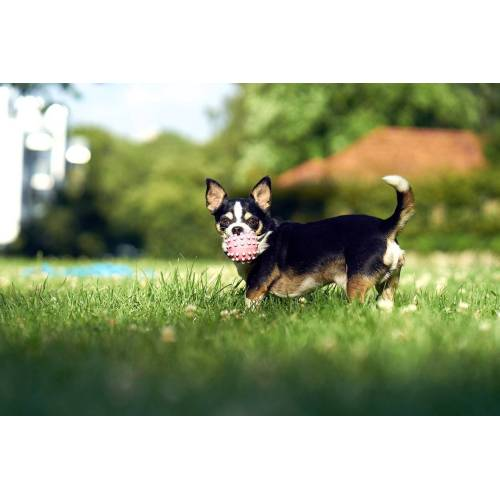 Medium Crop Of How Long Do Chihuahuas Live