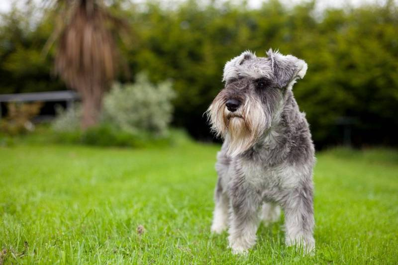 Large Of Do Schnauzers Shed