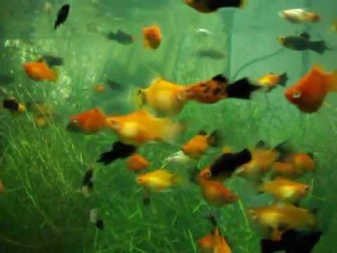 platy fish tank   YouTube