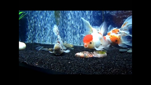100 Gallon Goldfish Tank.wmv   YouTube