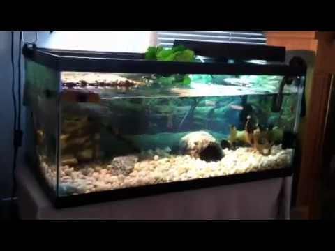 turtle tank (40 gallon breeder) with baby turtles HD   YouTube