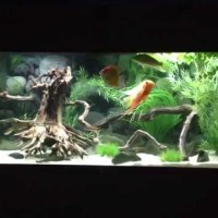 20 gallon cichlid tank youtube - 20 gallon Mbuna Cichlid tank, feeding time   YouTube