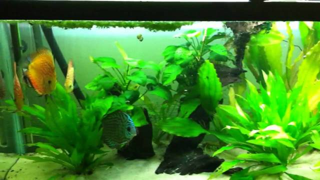 my 55 gallon planted discus tank   YouTube