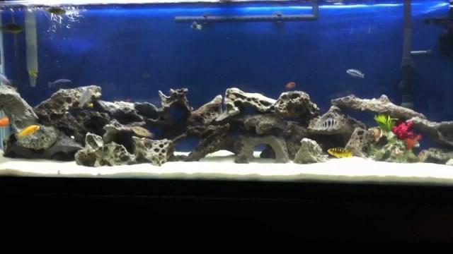 55 Gallon Cichlid Tank Stocking List   YouTube