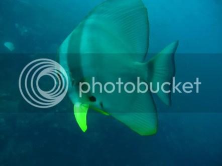 sail-rock-bat-fish