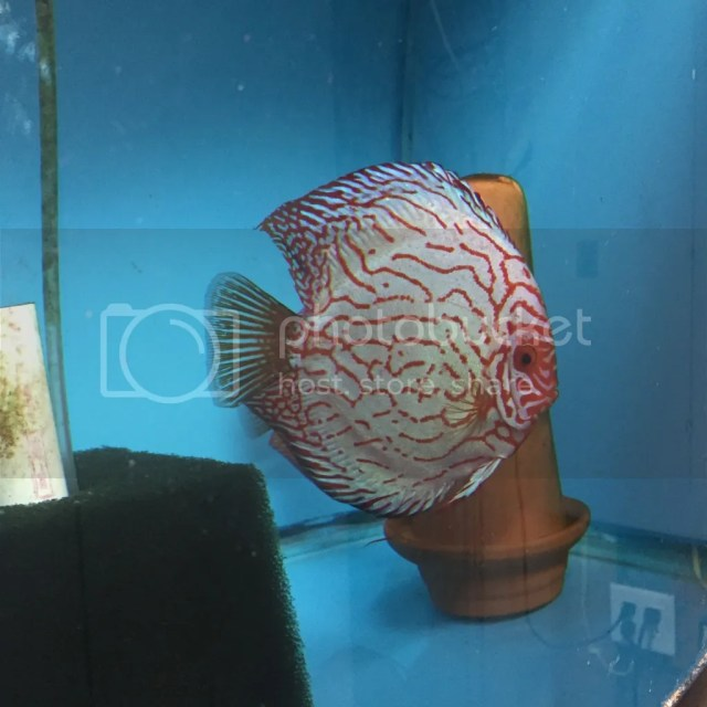 Discus Proven Pairs for Sale