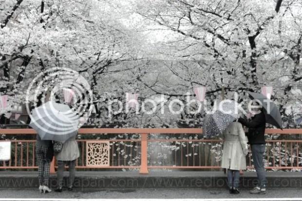 photo Sakura-meguro-16.jpg