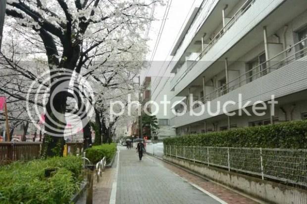 photo Sakura-meguro-6.jpg