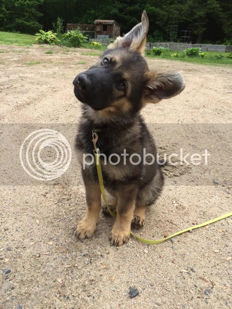 Large Of German Shepherd Names