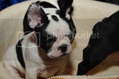 French Bulldog photo a39a4cf7-a4d9-4aa5-81e0-d455d5ad91de_zps6443419a.jpg Eight Tips To Help You Choose The Best Puppy For Your Family