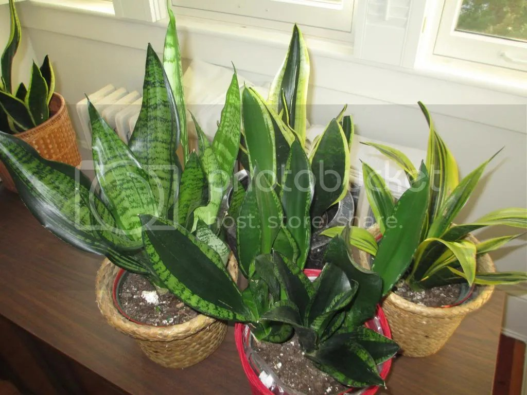 Extraordinary It Sounded Like Some People Here Were Happy Ir Orders From So I Decided To Give M A Because I Obviously Haveenough Here Are My Snake Snake Plant Home Depot Canada curbed Snake Plant Home Depot