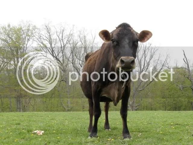 oak hill cow