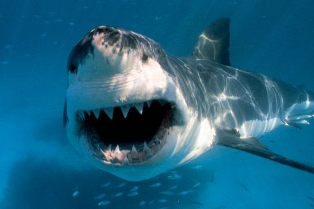 Great White Shark is  hunting off Britain s shores  claims expert     Other witnesses fear the shark could be close to the UK  Image  National  Geographic Creative