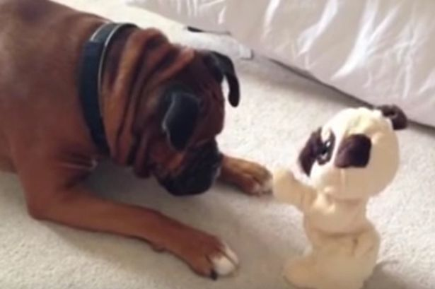 Dog thinks toy is real