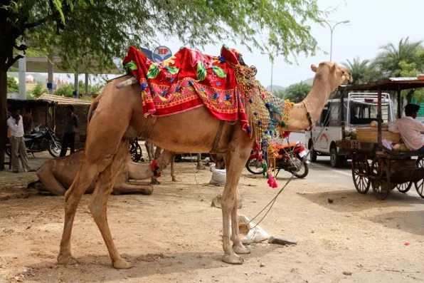 A camel in Jaipur near the Amber Palace