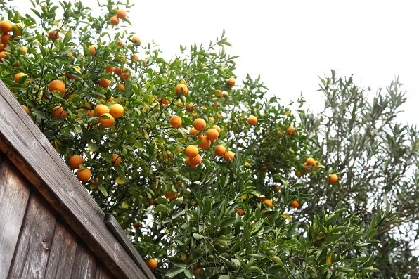 Mandarin orange tree in Los Angeles