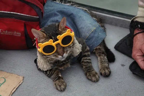Cat wearing yellow sunglasses