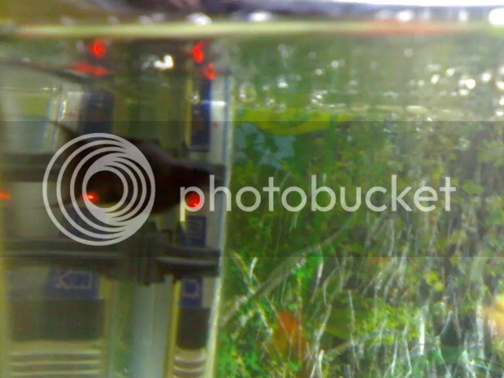 Fullsize Of Black Molly Fish