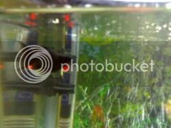 Small Of Black Molly Fish
