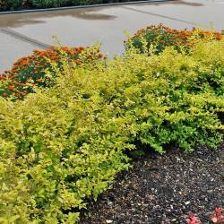 Small Of Deer Resistant Shrubs