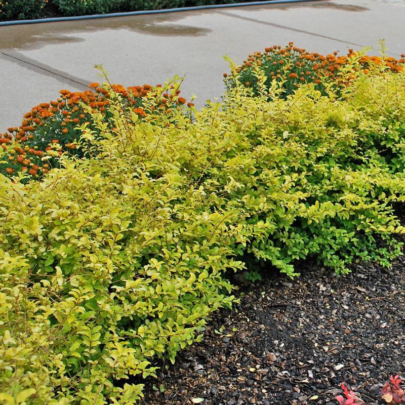 Large Of Deer Resistant Shrubs