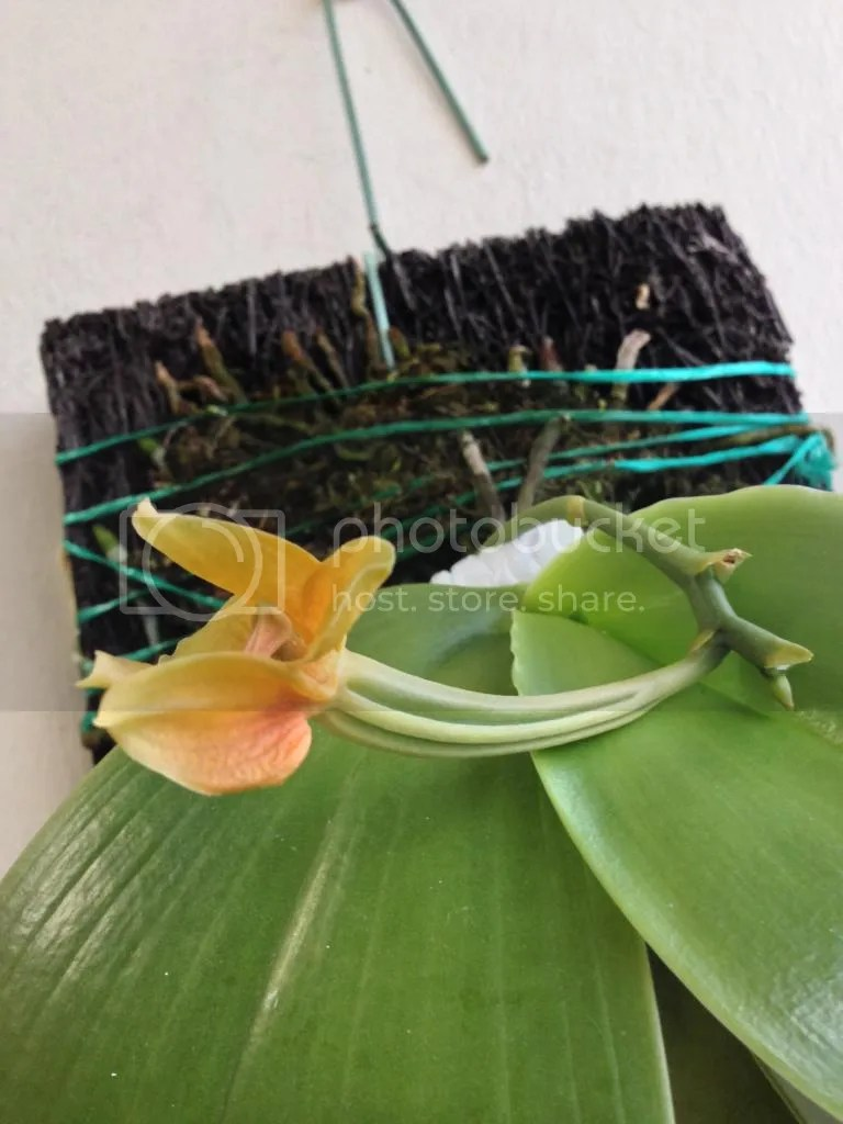 Fullsize Of Orchid Leaves Turning Yellow
