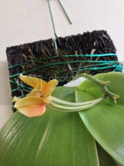 Small Of Orchid Leaves Turning Yellow