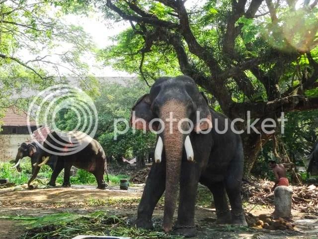 Guruvayoorappan's Elephants at Punnathoor Kotta
