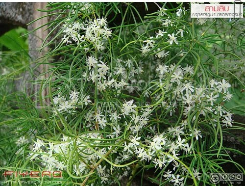 สามสิบ, รากสามสิบ, สาวร้อยผัว, สามร้อยราก, ผักชีช้าง, ไม้เถา, ผักพื้นบ้าน, ไม้ดอกหอม, ดอกสีขาว, ไม้เลื้อย, หน่อไม้ฝรั่ง, Asparagus racemosus, ต้นไม้, ดอกไม้, akitia.com