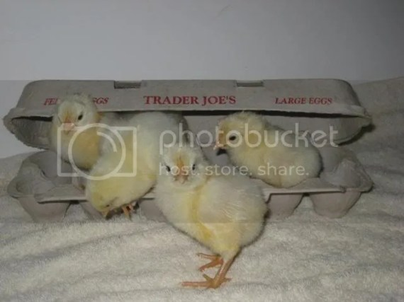 Trader joes chickens, baby chicks that hatched from fertile grocery store eggs sold in the refrigerator case