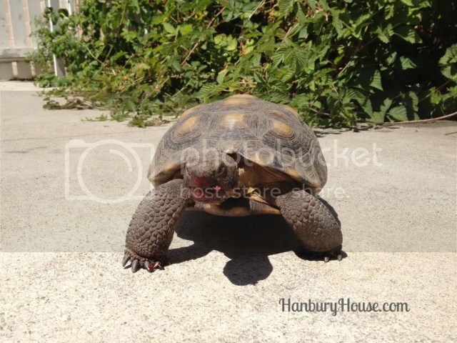 thornless blackberry feeding tortoises turtle desert reptile backyard pet fruit